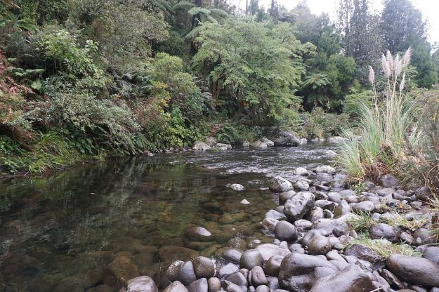 DSC01690_BluffStreamKauri