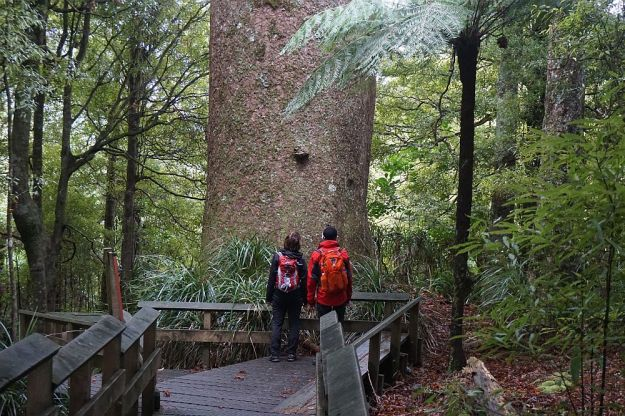 DSC01701_BluffStreamKauri