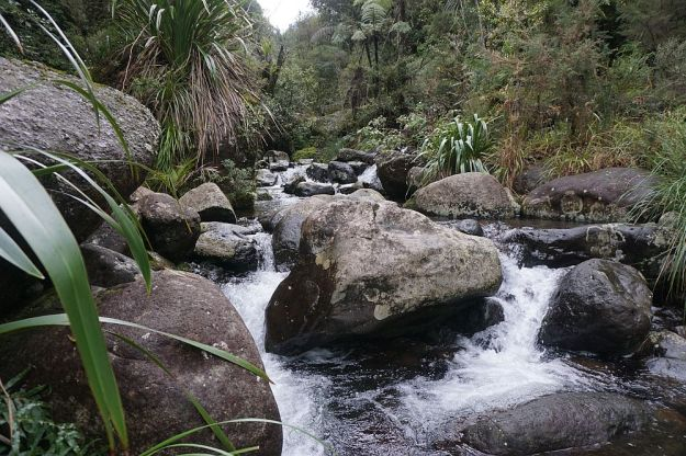 DSC01705_BluffStreamKauri