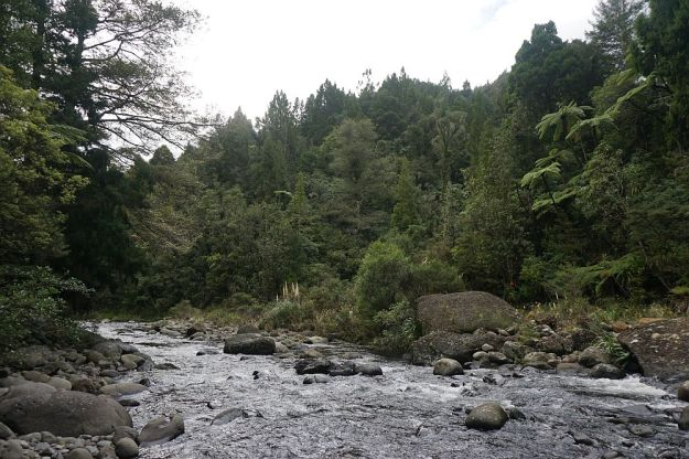 DSC01710_BluffStreamKauri