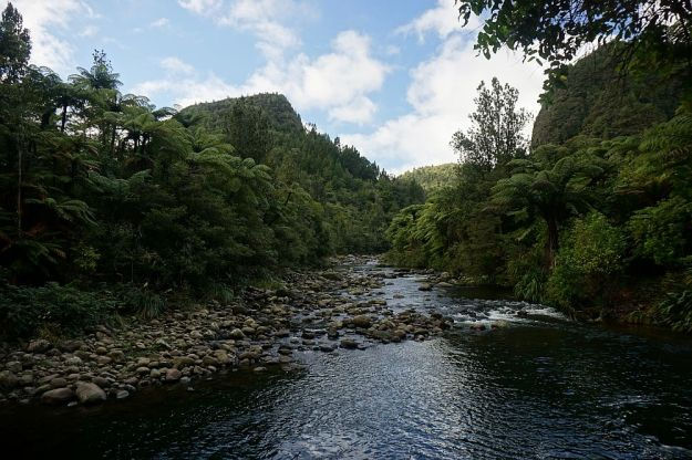 DSC01717_BluffStreamKauri