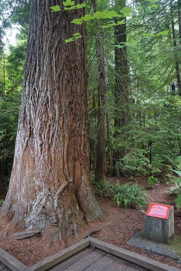 DSC02865_RedwoodsPohaturoa